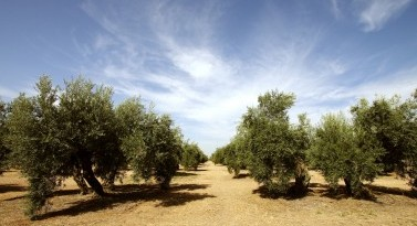 PHENOILS. New technologies implementation in RIS regions' olive oil mills for healthier olive oil extraction