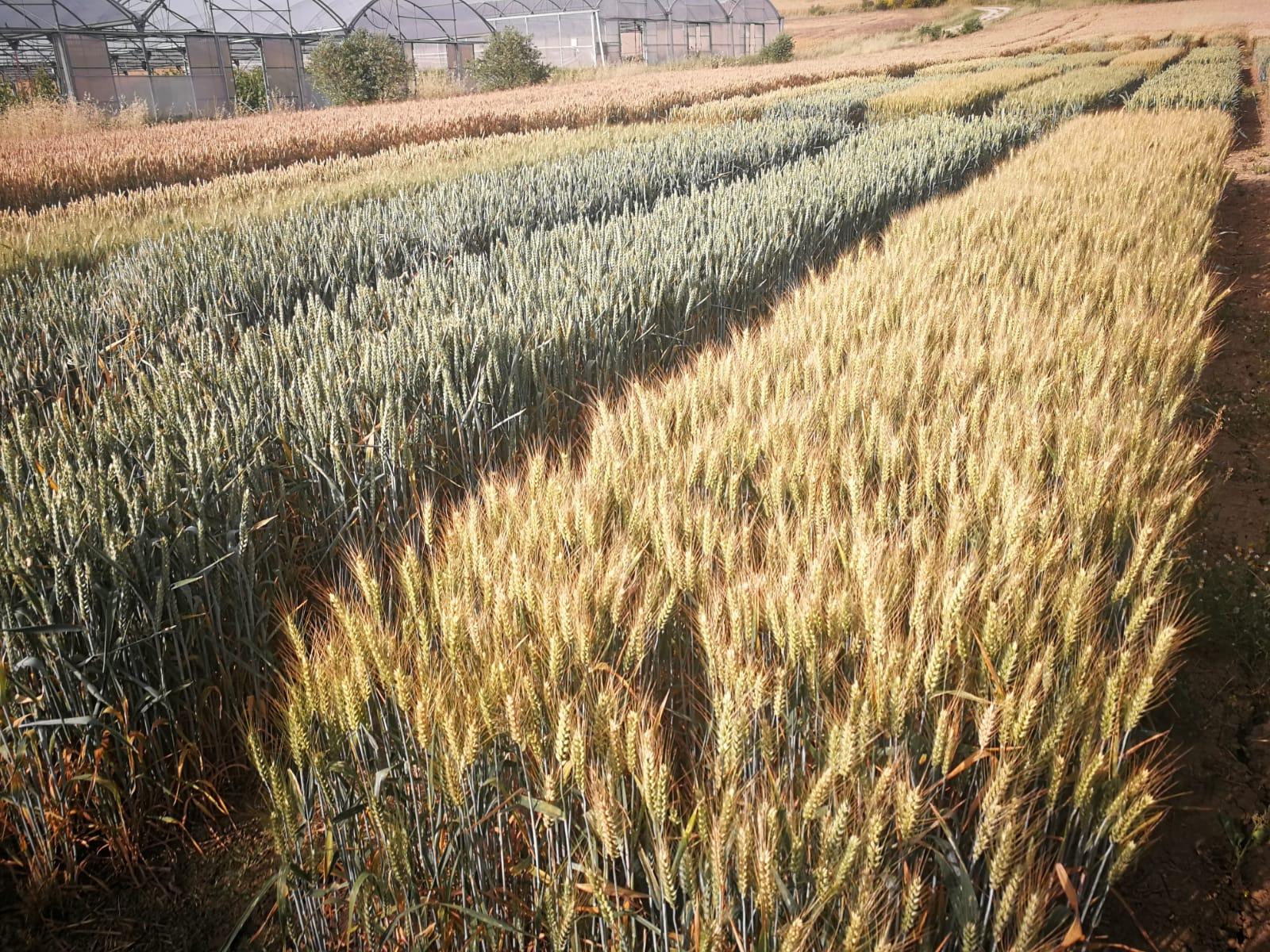Parcelas de trigo en España con el objetivo de aumentar el rendimiento y la calidad del trigo.