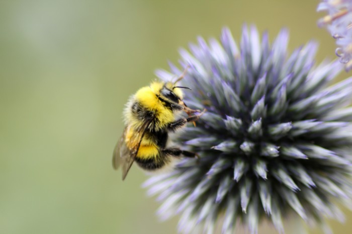 Searching for a Plan Bee: the importance of bees to a safe food supply
