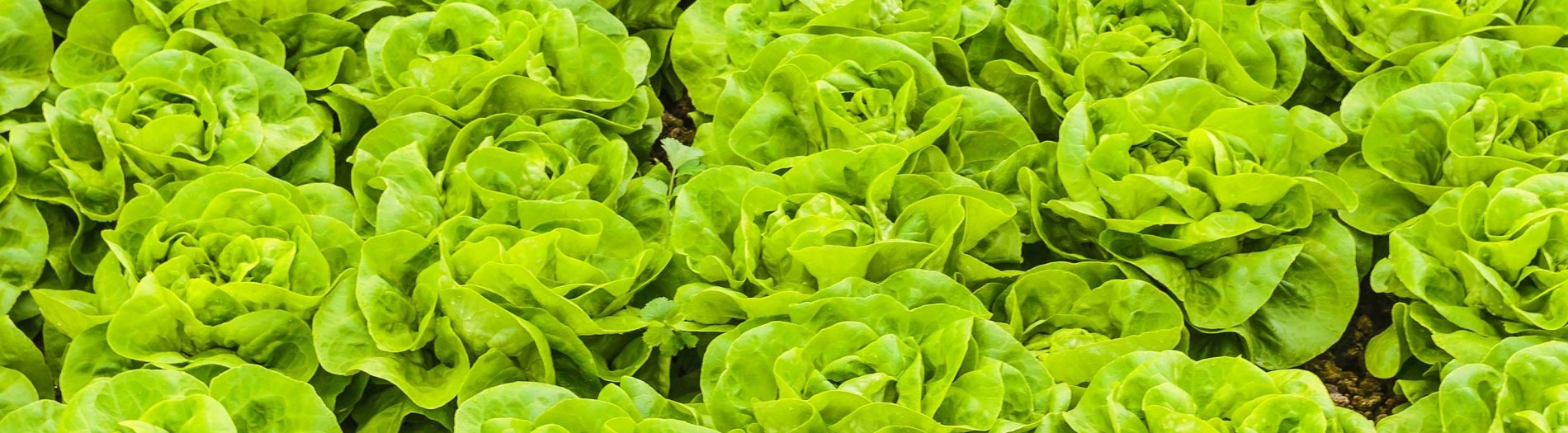 Impact on sustainability, shelf life and nutritional value by vertically farmed leafy greens via a new local supply chain