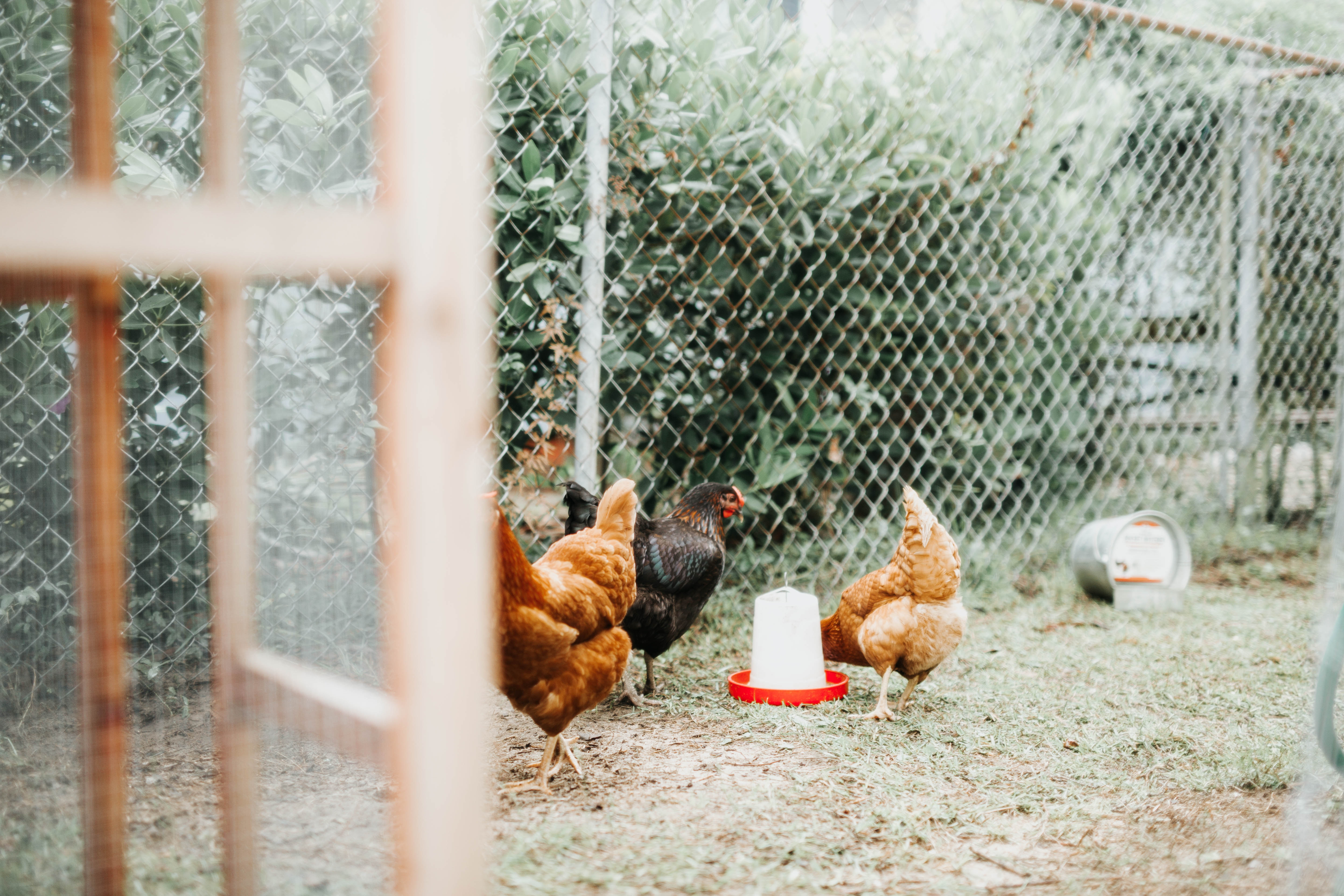 FROM WASTE TO FARM: insect larvae as tool for welfare improvement in poultry